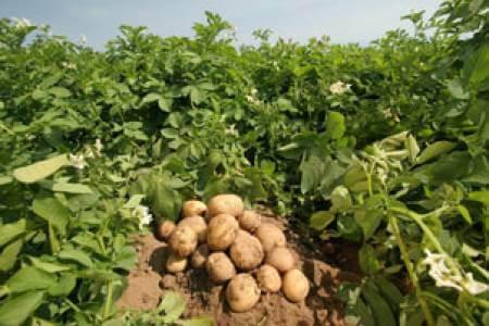 Как да отгледате суперранни картофи