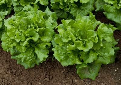 Време е да засадите есенните салати