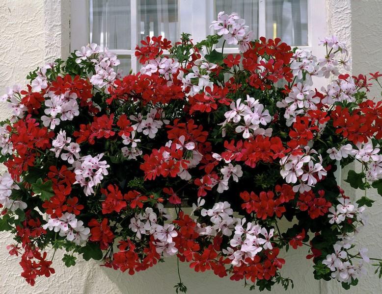 Кога да пресадим саксийните цветя