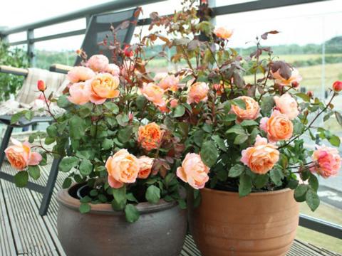 Миниатюрните рози – 9 златни правила