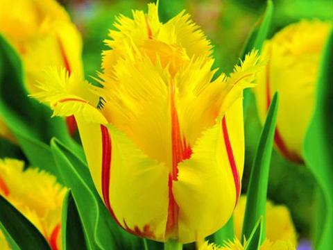 Погрижете се за луковиците на пролетноцъфтящите цветя