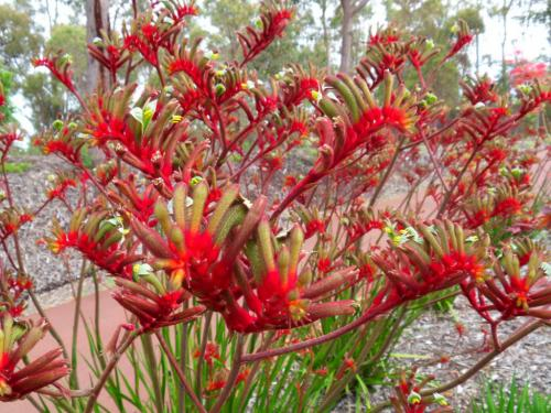 Анигозантус (Кенгуруво цвете)