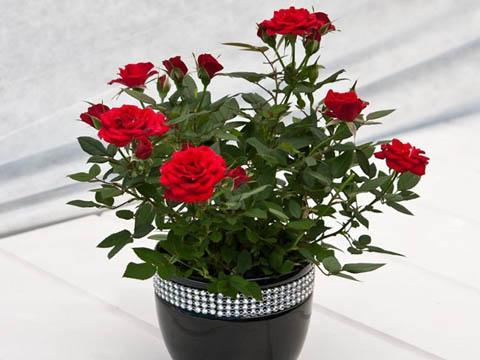 От какви резитби се нуждаят миниатюрните рози