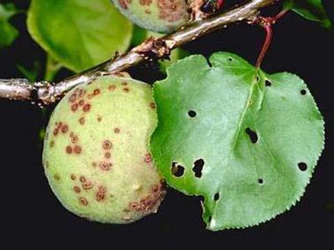 Започнете пръскането срещу сачмянката от есента