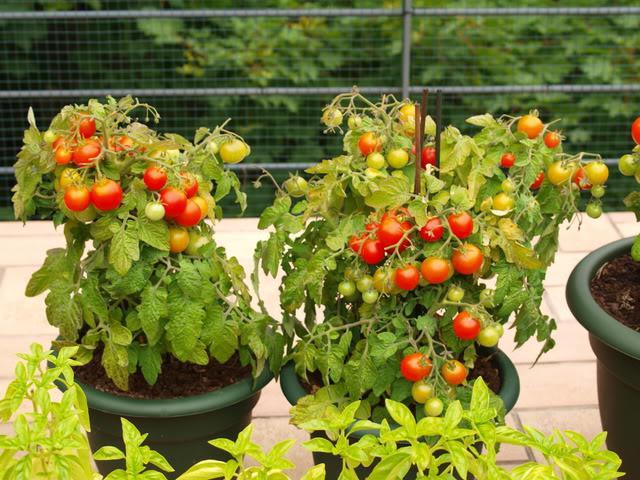Зеленчуци за градската градина