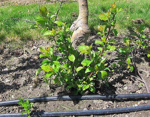 Малките издънки съсипват дръвчетата