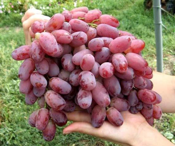 Запазете си свежо грозде до зимата