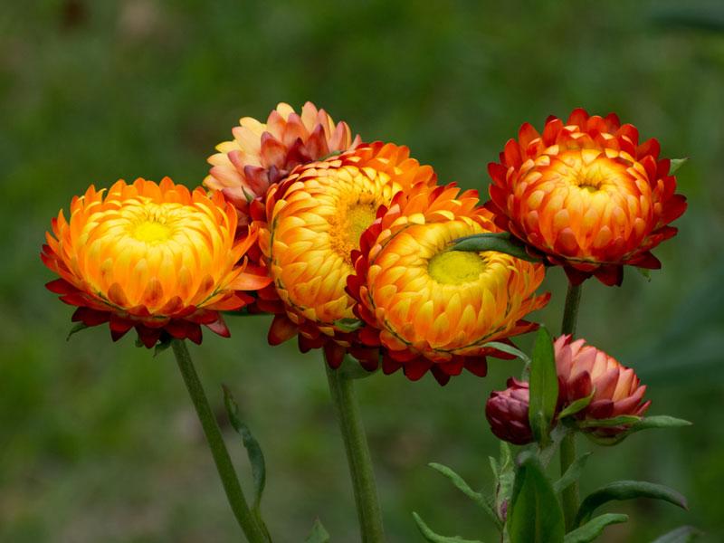 Запознайте се със сухоцветните растения