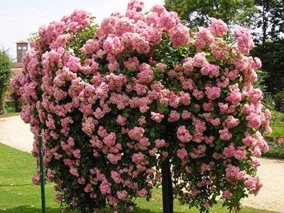 Зазимете дървовидните рози