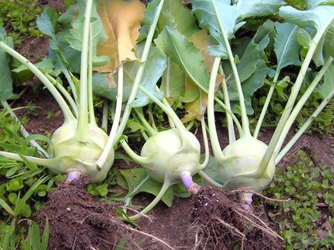 Зеленият алабаш расте бързо и не мръзне