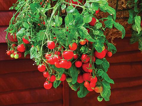 Нов метод за отглеждане на домати