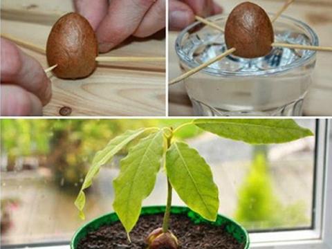 Отгледайте си авокадо в саксия