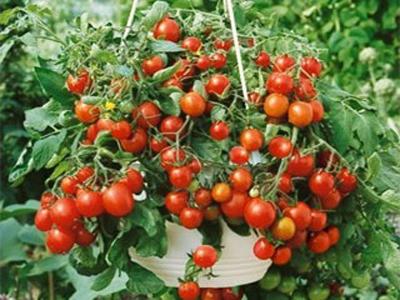 Как да си отгледаме зеленчуци на балкона