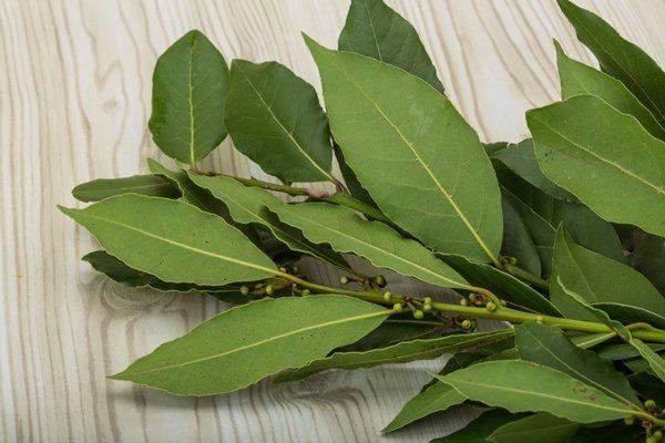 Дафиновият лист лекува много болести